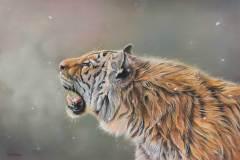 Tijger door Genevieve Lumeij, Fine Art. Portret tekening met pastelpotlood of pastelkrijt